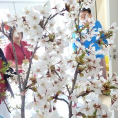 今年の桜は・・・?